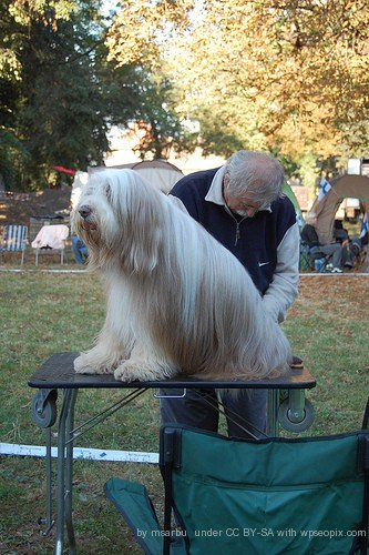 Show dog grooming picture.