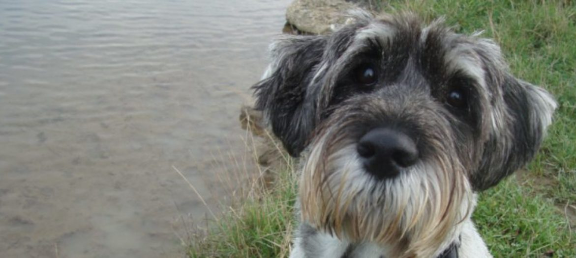 Schnauzers, like many breeds, need regular grooming to look at their best.